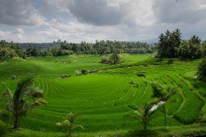 Cloudy rice paddy farm