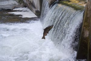 Salmon attempting to jump over a low river barrier